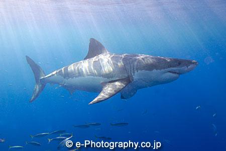 ホホジロザメの画像 p1_5