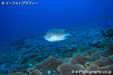 Spotted Angelfish : ??????? , Spotted angelfish , Genicanthus takeuchi ...