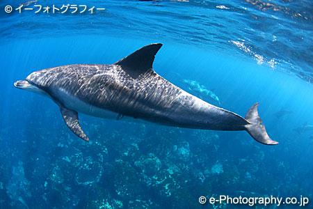 ハンドウイルカの画像 p1_22