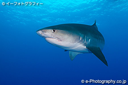 イタチザメの画像 p1_31