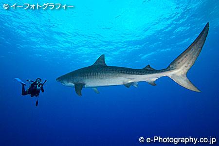 イタチザメの画像 p1_5