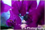 ブーゲンビリアに隠れるヤモリ