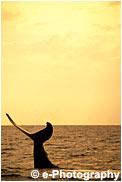 ザトウクジラ テール 尻尾 久米島