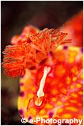 ウミウシカクレエビ ニシキウミウシ
