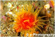 ウチウラタコアシサンゴ