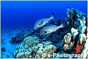 アジアコショウダイ ハマシコロサンゴ