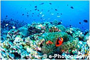 サンゴ礁とハマクマノミ
