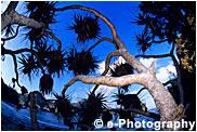アダン(タコの木)