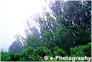 白く煙る小笠原の木々