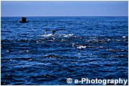 ザトウクジラ、カリフォルニアアシカ