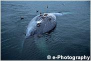 シロナガスクジラ