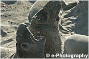 ゾウアザラシ