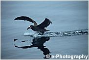クロアシアホウドリ