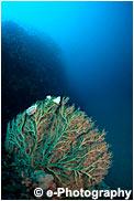 八方サンゴの仲間