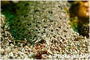 セイテンビラメ