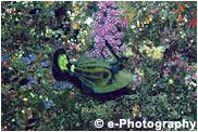 メガネウマヅラハギ