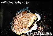 パイナップルウミウシ