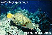 クマドリ(インド洋ver.)