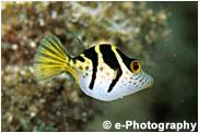 シマキンチャクフグ 幼魚あるいはノコギリハギ