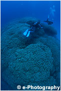コモンシコロサンゴ(大仏サンゴ)