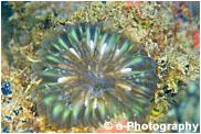 コハナガタサンゴ