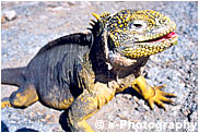 ガラパゴスリクイグアナ