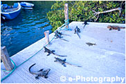 桟橋とウミイグアナ