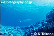 イタチザメ, タイガーシャーク