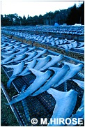 ヨシキリザメ フカヒレ