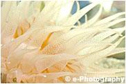 タコアシサンゴ