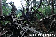 屋久島 蛇紋杉