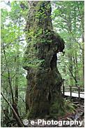 屋久島 仏陀杉