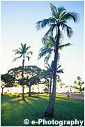 ワイキキビーチの横 ヤシの木