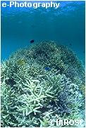 元気な枝サンゴ