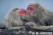 モンキー サル 日本猿