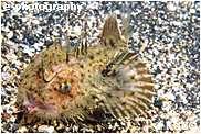 キアンコウ幼魚