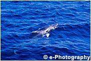 ミンククジラ コイワシクジラ