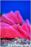 ミカドウミウシ