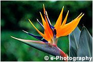 ストレチア 極楽鳥花