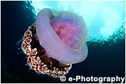 イボクラゲ