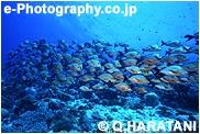 モルジブ 魚群