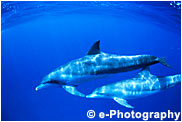 ミナミハンドウイルカ, インドパシィフィックボトルノーズドルフィン