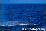 シロナガスクジラ, ブルーホエール