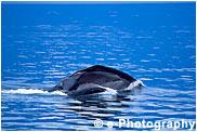 ザトウクジラ ハンプバックホエール