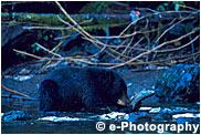 アメリカクロクマ ブラックベア