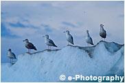 氷にとまるカモメたち