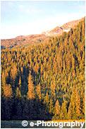 西日が針葉樹の森を染める