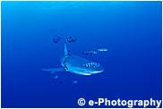 メジロザメの一種