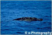 コブハクジラ