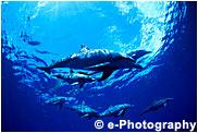 ミナミハンドウイルカ